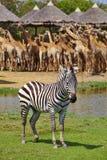 Één grote zebra Royalty-vrije Stock Afbeeldingen
