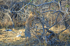 An isolated steenbok standing feeding from the branches Stock Photo