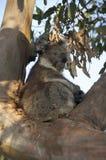 Één koalazitting in een boom Royalty-vrije Stock Foto