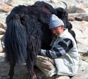 Nômada tibetano que ordenha a vaca dos iaques pelas mãos em Ladakh, Índia Foto de Stock