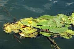 N?nuphars sur la surface de l'eau images libres de droits