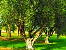 N the parks of the city of Murcia, you can see the wild olive royalty free stock image