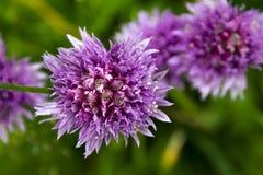 N?ra sikt av l?sa purpurf?rgade blommor i skogen royaltyfri foto
