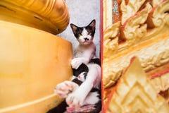N?ra upp liten kattunge med modern i templet Phuket thailand fotografering för bildbyråer