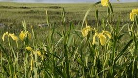 N?ra ?vre sikt av den h?rliga gul sv?rdsliljablomman Gul flagga för iris'Pseudacornus' arkivfilmer
