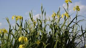N?ra ?vre sikt av den h?rliga gul sv?rdsliljablomman Gul flagga för iris'Pseudacornus' lager videofilmer