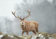 N?rbild av en fullvuxen hankronhjort f?r r?da hjortar i den fallande sn?n royaltyfria bilder