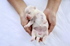 N?rbild av en nyf?dd maltese valp Maltesiskt f?rf?lja H?rlig hundf?rgvit Valp p? p?ls- vita mattor Hund f?rest?ende Jaga p? arkivbilder