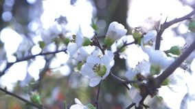 N?rbild av ett Cherry Plum tr?d blommor och solilsken blick 4k ultrarapid stock video