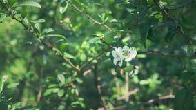 N?rbild En filial av att blomma den japanska kvitten med gr?n frukt Fruktbuske med h?rliga vita blommor och gr?splan stock video
