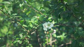 N?rbild En filial av att blomma den japanska kvitten med gr?n frukt Fruktbuske med h?rliga vita blommor och gr?splan arkivfilmer