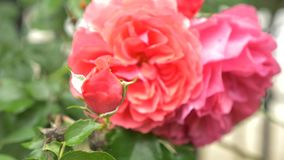 N?rbild 4K en blomma av en rosa ros efter ett regn lager videofilmer
