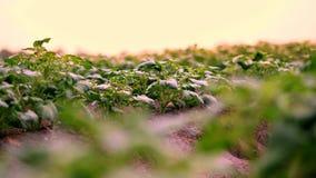 N?rbild potatiskolonier Rader av unga gröna groddar av potatisar, unga potatisbuskar växer på lantgårdfält stock video