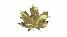 N?rbildrotationsl?nnl?v som t?ckas av droppar av vatten Guld- färg för blad som isoleras på vit bakgrund 3d 4K stock video