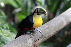 N?rbildst?ende av tocotukan med ljust - gr?n n?bb och gr?na ?gon Ramphastos toco _ Iguazu arkivfoto