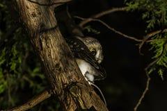 N?rdliches Owl Perched in einem Baum lizenzfreie stockbilder