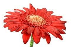 Één rode bloem Stock Afbeeldingen
