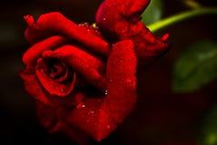 'N vermelho Rosa perfumada - chá híbrido Foto de Stock