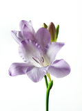 Één violette geïsoleerden fresia Stock Foto