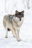 Één Wolf die zich in de sneeuw bevinden Stock Afbeelding