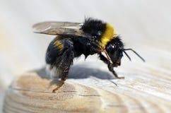 Naß mogeln Sie Biene durch Lizenzfreie Stockbilder