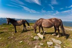 Na łące dwa konia. Zdjęcia Royalty Free