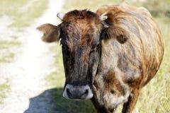 Na łące krowy odprowadzenie Zdjęcie Royalty Free