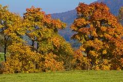 Na łące złoci drzewa Obraz Stock