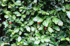 Na ścianie zieleń liść Fotografia Royalty Free