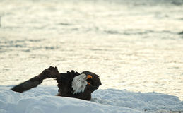 Na śniegu rozkrzyczany Łysy Orzeł. zdjęcia royalty free