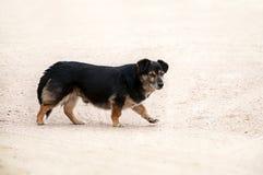 Na żółtym piasku bezdomny czarny i czarny pies Fotografia Stock
