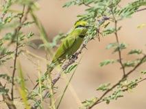 Na żerdzi mały zielony bee-eater Fotografia Royalty Free