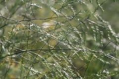 Na Aspergeoogst in de herfst groeien de groene struiken met breekbare takjes op het gebied met nieuwe rode zaden stock foto's