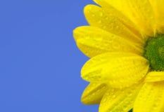 Na błękit żółta chryzantema Zdjęcie Royalty Free