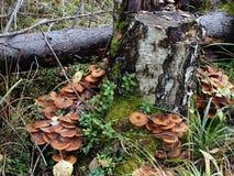 Na bagażniku brzozy drzewo r jadalne pieczarka miodu bedłki Zdjęcie Royalty Free