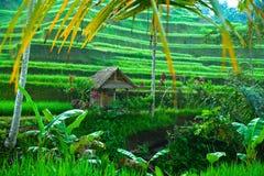 Na Bali tarasowi ryżowi pola zdjęcie royalty free