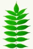 Na biały tle zieleń liść Fotografia Stock