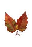 Na biel jesień ulistnienie Obrazy Stock