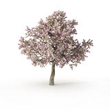 Na biel kwiatonośny drzewo Zdjęcie Royalty Free