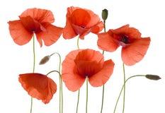 Na biel makowi kwiaty Fotografia Stock