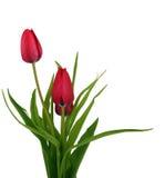 Na biel piękni tulipany. Ścinek ścieżka Obraz Royalty Free