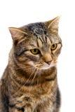 Na biel tabby dorosły kot Fotografia Stock