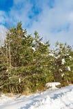 na borda da floresta cresça pinhos verdes novos, um dia de inverno ensolarado claro Fotos de Stock