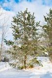Na borda da floresta um pinho verde novo cresce, um dia de inverno ensolarado claro Imagem de Stock Royalty Free