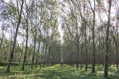Na borracha da árvore da manhã Imagens de Stock