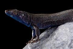 Na Bosc island lizard Podarcis pityusensis gorrae. The Na Bosc island lizard Podarcis pityusensis gorrae is endemic to the tiny Na Bosc island of the coast of Royalty Free Stock Photography
