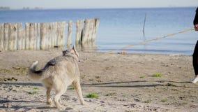 Na brzeg rzeki na plaży, przy wschodem słońca, piękna kobieta w ciasnym kostiumu chodzi z psem plewa traken, utrzymania zbiory