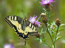 Na Centaurea Machaon motyl Obraz Stock