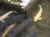 Na cidade do tsuwano, um grande número peixes do koi vivem nos canais de drenagem públicos, fazendo lhe uma característica proemi foto de stock royalty free