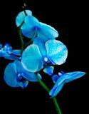 Na czarny tle błękitny orchidea Zdjęcie Stock